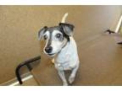Adopt Dottie a Parson Russell Terrier, Mixed Breed