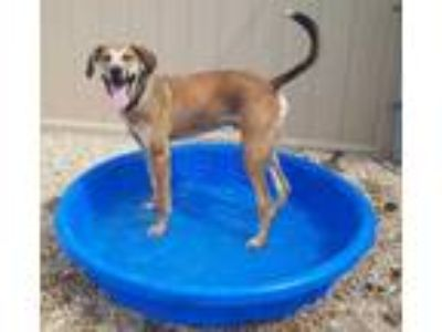 Adopt Levi a Tan/Yellow/Fawn Hound (Unknown Type) / Mixed dog in South Elgin
