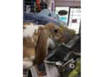 Adopt Lady a Chocolate Lop-Eared / Mixed rabbit in Altoona, PA (25549604)