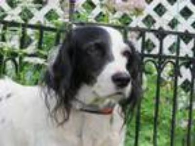 Adopt Genevieve a English Setter, Setter