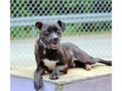 Adopt Wavy a Black Terrier (Unknown Type, Small) / Mixed dog in Charleston