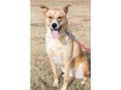 Adopt Lucy a Tan/Yellow/Fawn Shepherd (Unknown Type) / Mixed dog in Broken