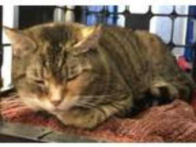 Adopt Allison a Domestic Short Hair