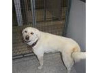 Adopt Freya a White Great Pyrenees / Mixed dog in Heber City, UT (25356740)