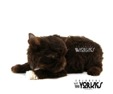 Yorkshire Terrier PUPPY FOR SALE ADN-78701 - Ziggy