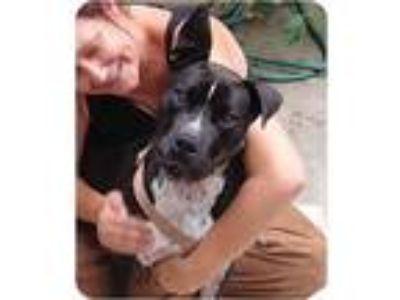 Adopt Gabriel a Black - with White Labrador Retriever / Boxer / Mixed dog in