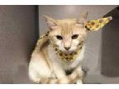 Adopt Cameo a Tan or Fawn Domestic Shorthair / Domestic Shorthair / Mixed cat in