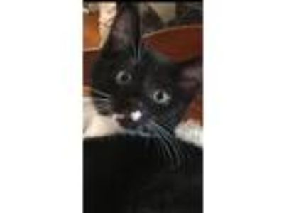 Adopt Chance a Domestic Short Hair