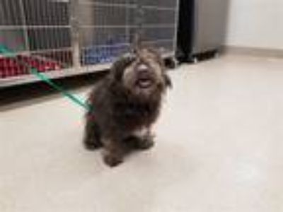 Adopt SEYMOUR a Black - with White Poodle (Toy or Tea Cup) / Schnauzer