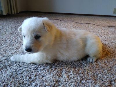 German Shepherd Dog PUPPY FOR SALE ADN-64567 - White Shepherd Puppies