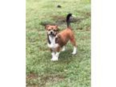 Adopt BOOTSIE a Tricolor (Tan/Brown & Black & White) Boston Terrier / Pekingese
