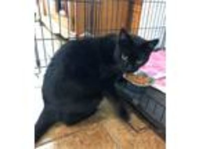 Adopt Castro a Domestic Short Hair