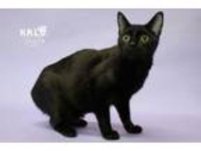 Adopt Boo a Domestic Short Hair, Manx