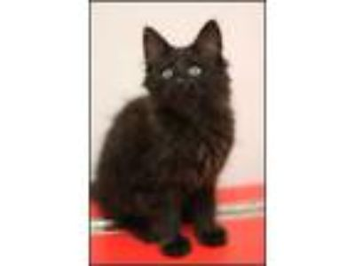 Adopt Goose A161995 a Domestic Long Hair