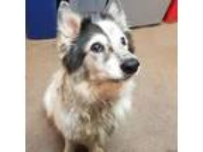 Adopt Cola a Border Collie, Husky
