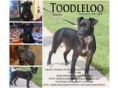 Adopt Toodleloo a Black Mountain Cur / Labrador Retriever / Mixed dog in Hearne