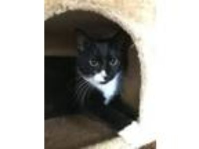 Adopt Oreo a Tuxedo, Domestic Short Hair