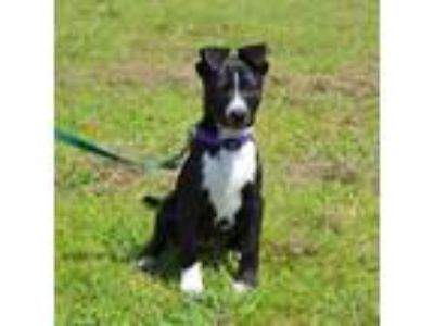 Adopt Belle meet me 6/21 a Black - with White Border Collie / Labrador Retriever