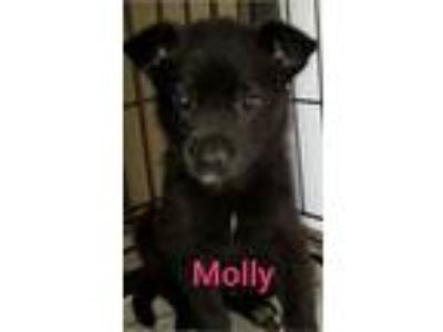 Adopt Molly a Black Labrador Retriever / German Shepherd Dog / Mixed dog in