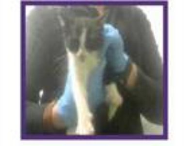 Adopt Munchie a White Domestic Shorthair / Domestic Shorthair / Mixed cat in
