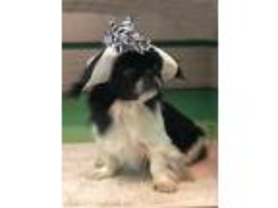 Adopt Molly a Black - with White Japanese Chin / Pekingese / Mixed dog in