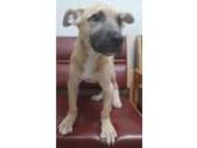 Adopt Odin a Tan/Yellow/Fawn Labrador Retriever / Mixed dog in Selma