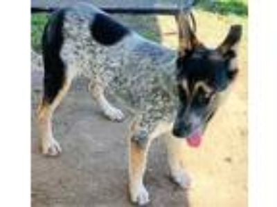 Adopt a Black - with White German Shepherd Dog / Australian Cattle Dog / Mixed