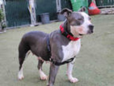 Adopt PUNKY a Gray/Silver/Salt & Pepper - with White American Pit Bull Terrier /