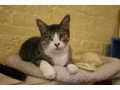 Adopt Fuji a Brown Tabby Domestic Shorthair (short coat) cat in New York