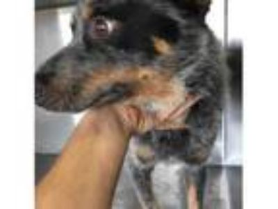 Adopt A1067118 a Australian Cattle Dog / Blue Heeler, Mixed Breed