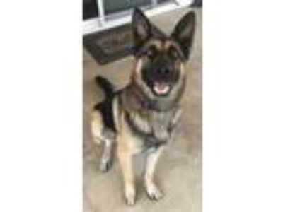 Adopt Lucas a Black - with Tan, Yellow or Fawn German Shepherd Dog / Mixed dog
