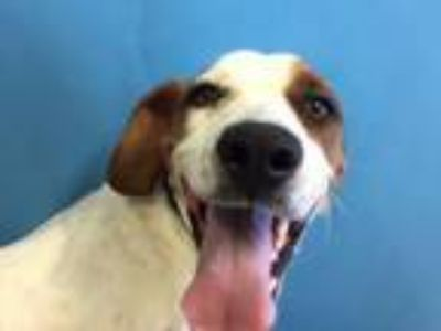 Adopt Mazel Ann a Hound, Mixed Breed