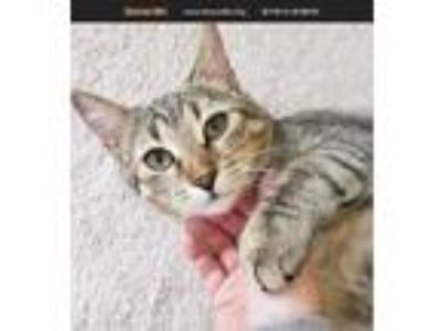 Adopt Sky a Brown Tabby Domestic Shorthair (short coat) cat in White Plains
