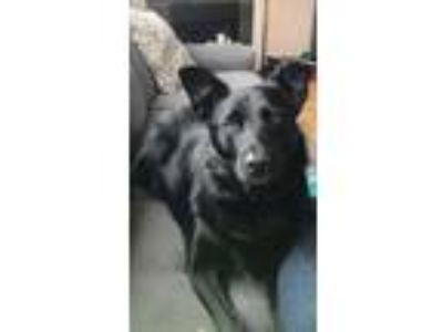 Adopt Homer a Border Collie, Labrador Retriever