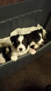Australian Shepherd PUPPY FOR SALE ADN-63075 - Toy Australian Shepard Puppies