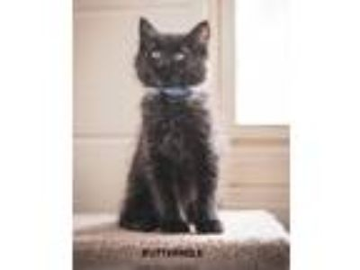 Adopt Buttermilk a Black (Mostly) Domestic Shorthair (short coat) cat in