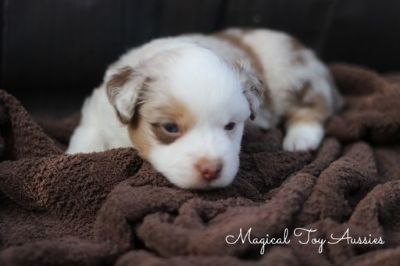 Miniature Australian Shepherd PUPPY FOR SALE ADN-96352 - Toy Australian Shepherd Puppy
