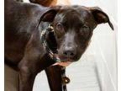 Adopt Willadean a Black Labrador Retriever / Mixed dog in Novelty, OH (25906284)