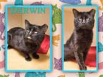 Adopt DARWIN a All Black Domestic Shorthair / Mixed (short coat) cat in Dedham