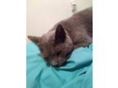 Adopt GrayGirl/Unnamed a Gray or Blue Domestic Shorthair cat in Baltimore