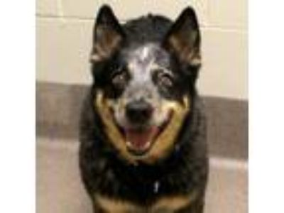 Adopt Maggie May a Cattle Dog, Australian Cattle Dog / Blue Heeler
