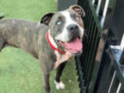 Adopt JOLENE a Brindle - with White American Pit Bull Terrier / Mixed dog in