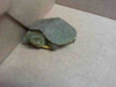 Adopt *HULK a Turtle - Other / Mixed reptile, amphibian, and/or fish in Las