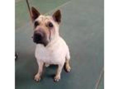 Adopt Tuna a Brown/Chocolate Shar Pei / Mixed dog in Akron, OH (19006531)