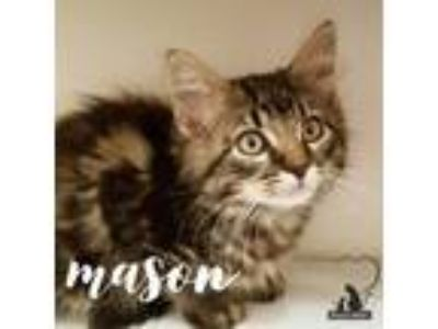 Adopt Mason a Domestic Longhair / Mixed (short coat) cat in Sewell