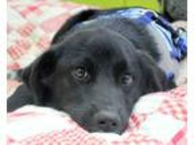Adopt Lucky Lenny a Labrador Retriever, Border Collie