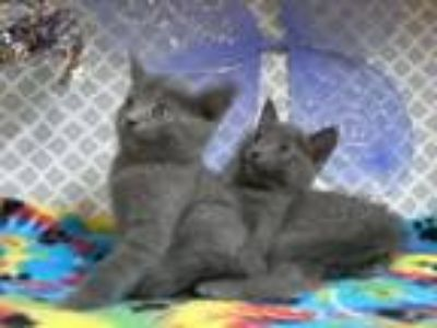 Adopt Porter and Preston a Gray or Blue Russian Blue (short coat) cat in