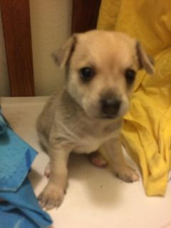 chihuahua and rat terrier mixed puppy got on here but not going to be able to keep him
