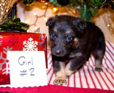 German Shepherd Dog PUPPY FOR SALE ADN-106984 - AKC German Shepherd Puppy