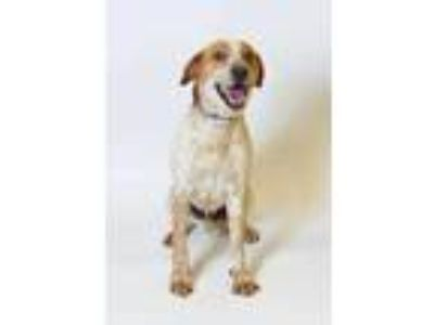 Adopt 58351 Rover a Tan/Yellow/Fawn Hound (Unknown Type) / Mixed dog in Spanish